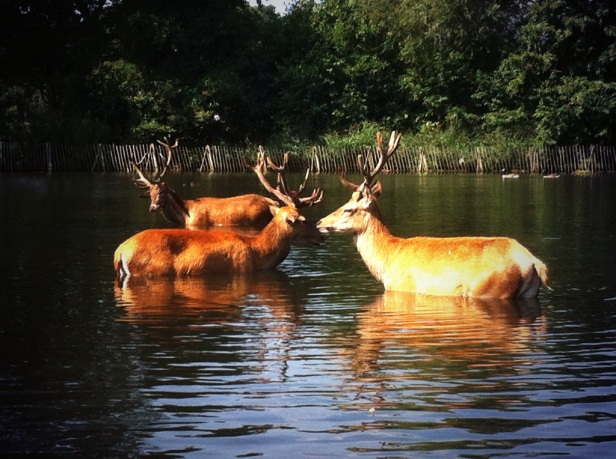 Deer cooling off in Richmond Park