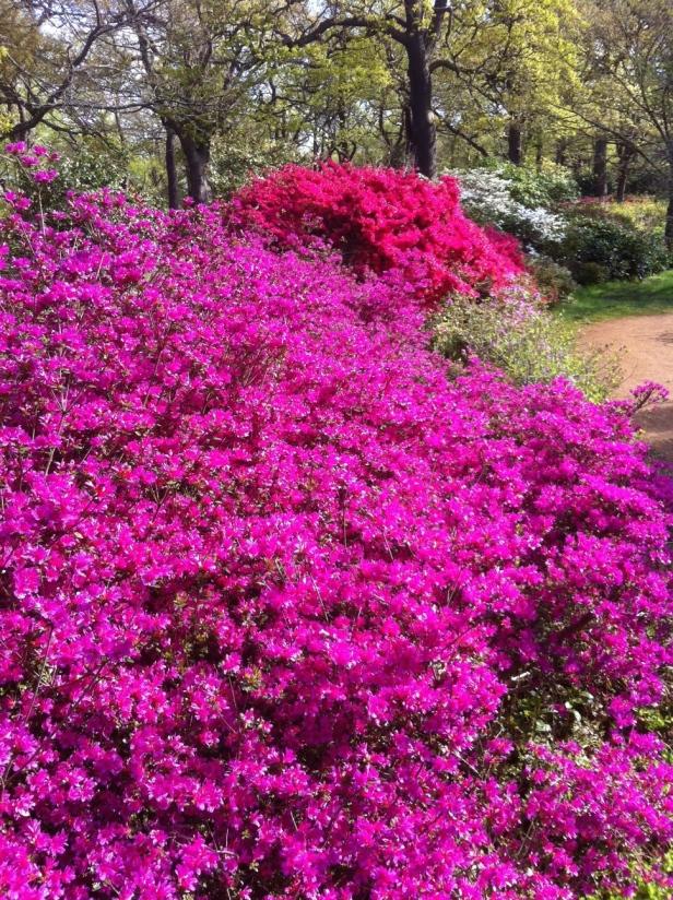 Isabella Plantation, Richmond Park