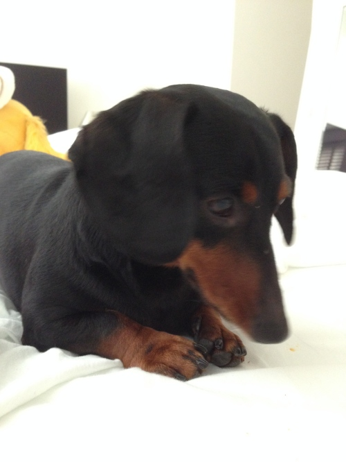 It's Callie the 3 year old dachshund. Photo: James