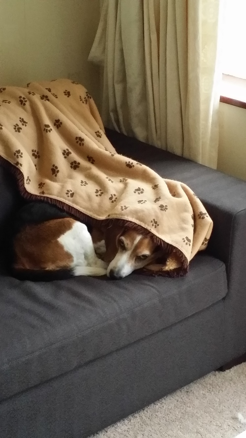 Java the beagle basset cross: Photo: cdkeivit