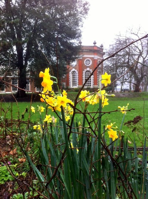 January daffs at OHG