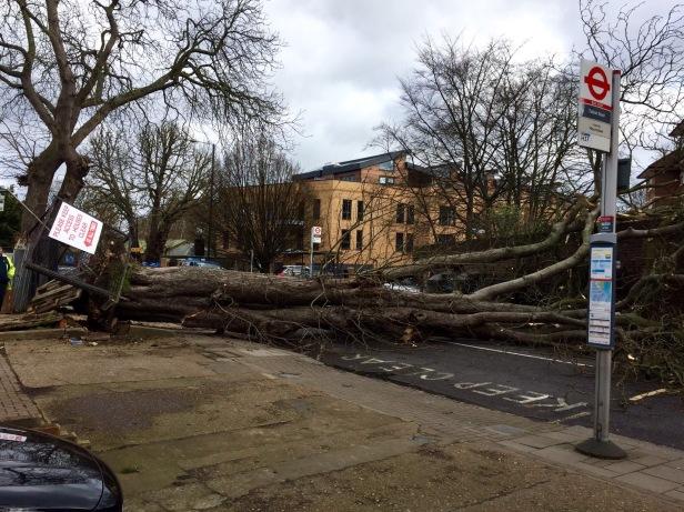 Tree Down!  Doris downs tree in St Margarets Road (Pic: Stuart Ramdeen)